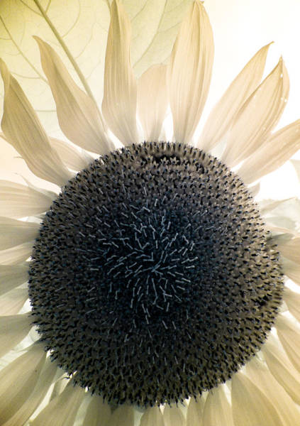 Photograph - Infrared Sunflower 1 by Scott Lacey