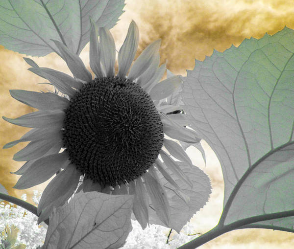 Photograph - Infrared Sunflower 2 by Scott Lacey
