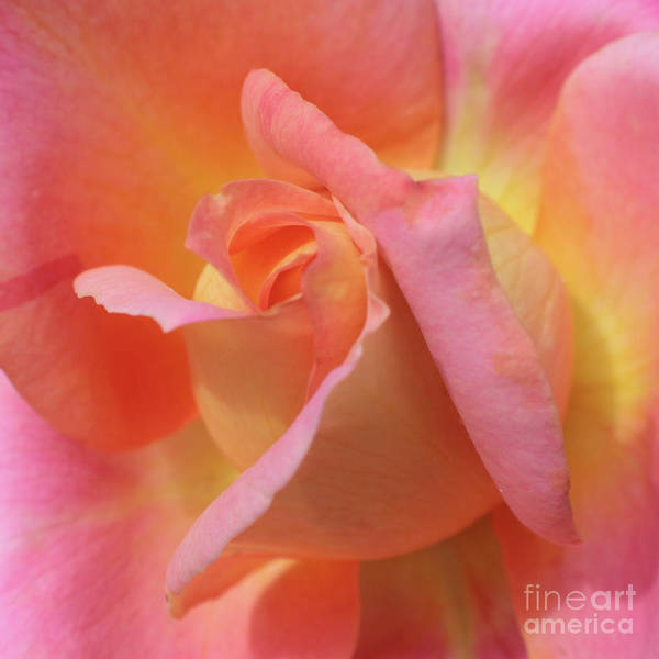 Photograph - Inner Rose Macro In Yellow And Pink 2 by Carol Groenen
