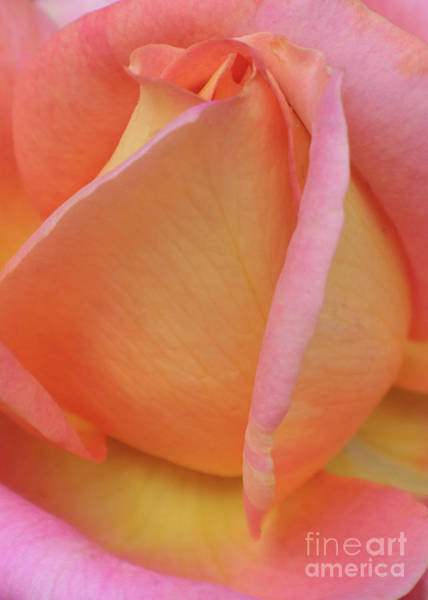 Photograph - Inner Rose Macro In Yellow And Pink 4 by Carol Groenen