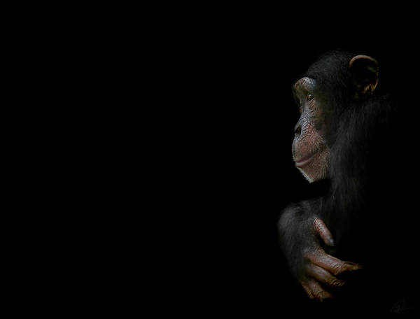 Primate Photograph - Innocence by Paul Neville