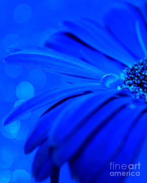 Gerbera Daisy Photograph - Innocent Blues by Krissy Katsimbras