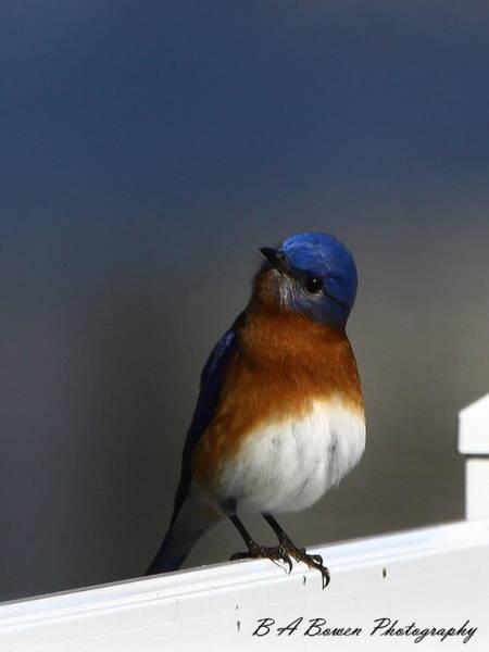 Inquisitive Bluebird Art Print