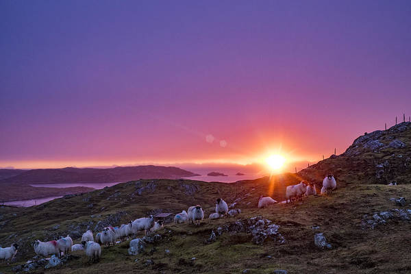 Photograph - Inquisitive Flock At Dawn, Harris by Neil Alexander