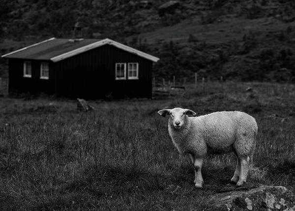 Lamb Photograph - Inquisitive by Nigel Jones