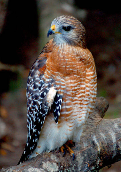 Photograph - Inquisitive Red Tailed Female Hawk by Donna Proctor