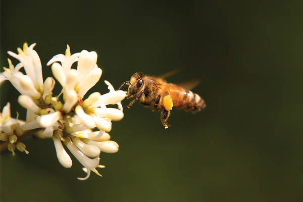Photograph - Insect - Bee - Honey I'm Home by Mike Savad