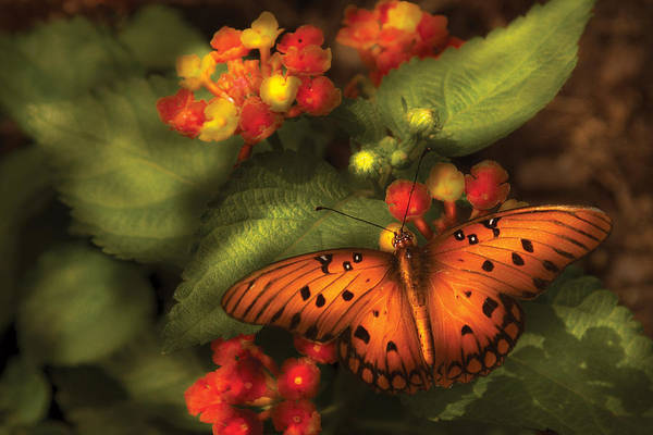 Photograph - Insect - Butterfly - Heliconius  by Mike Savad