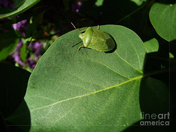 Photograph - Insect On A Leaf by Jean Bernard Roussilhe