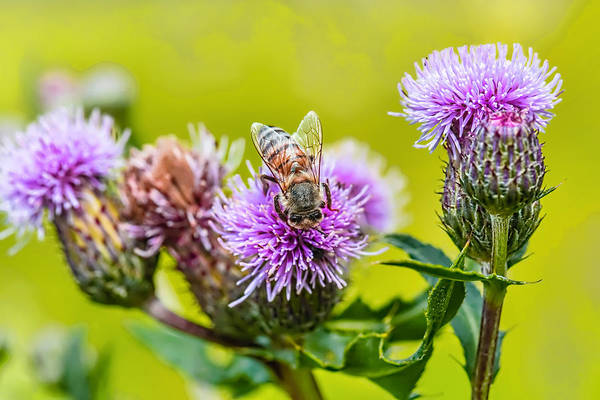 Photograph - Insect On Thistle 2015 by Leif Sohlman