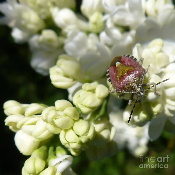 Photograph - Insect On White Lilac by Jean Bernard Roussilhe