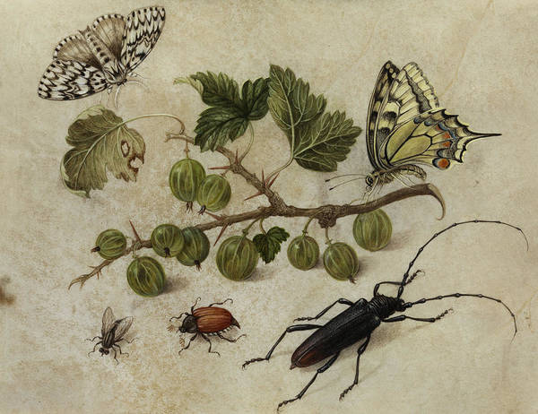 Wall Art - Painting - Insects And Butterfly by Maria Sibylla Merian