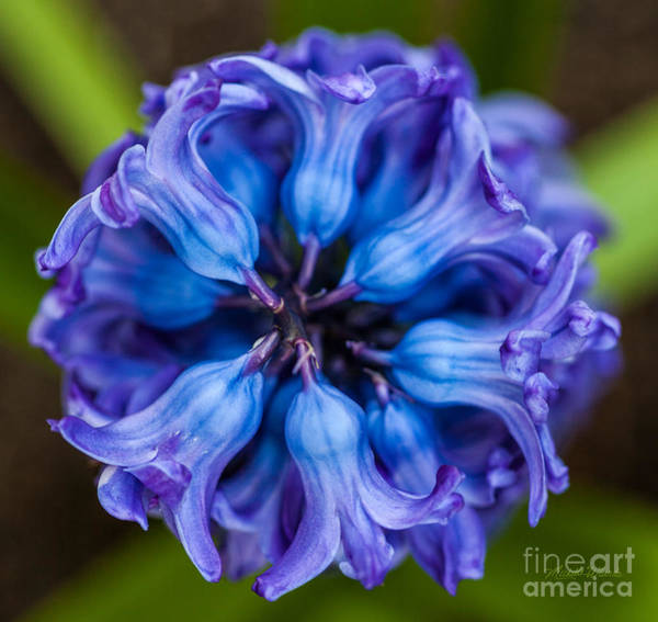 Photograph - Inside A Hyacinth Bloom by Michelle Constantine