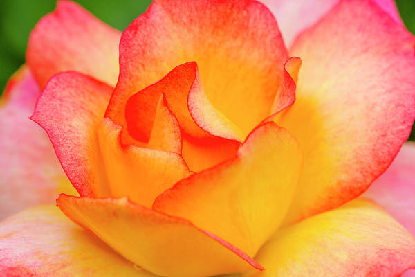Photograph - Inside A Pink And Yellow Rose Bud by Teri Virbickis
