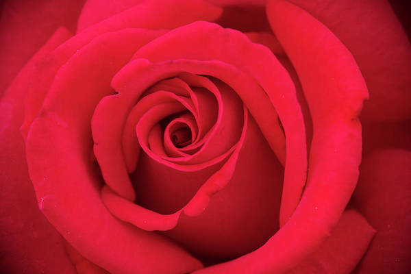 Photograph - Inside A Red Rose Bud by Teri Virbickis