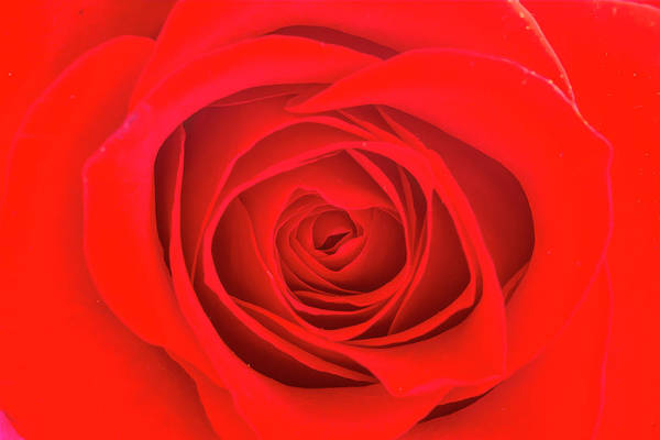 Photograph - Inside A Rose by Teri Virbickis