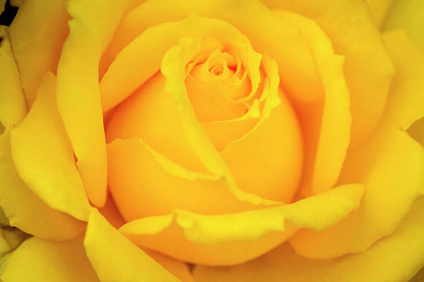 Photograph - Inside A Yellow Rose by Teri Virbickis
