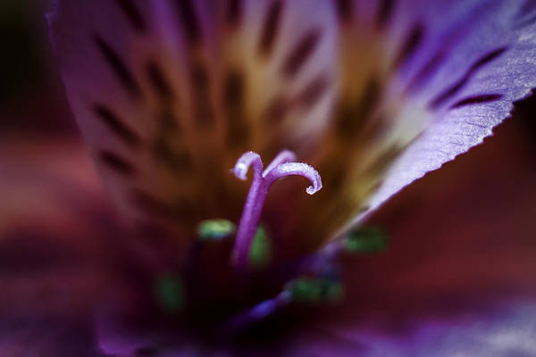 Photograph - Inside The Bloom by Tom Woll