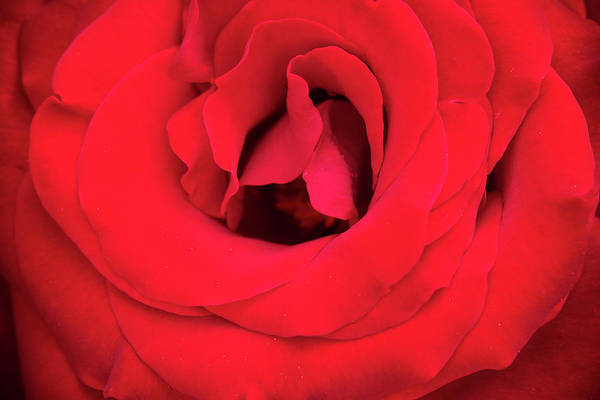 Photograph - Inside The Curves Of A Red Rose by Teri Virbickis
