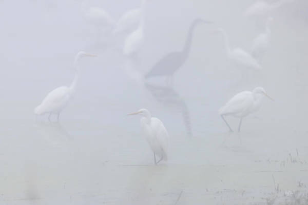 Egret Photograph - Inside The Fog by Everet Regal