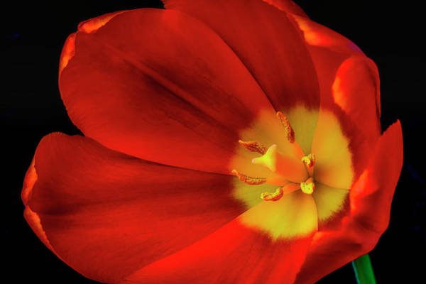 Wall Art - Photograph - Inside The Tulip by Garry Gay