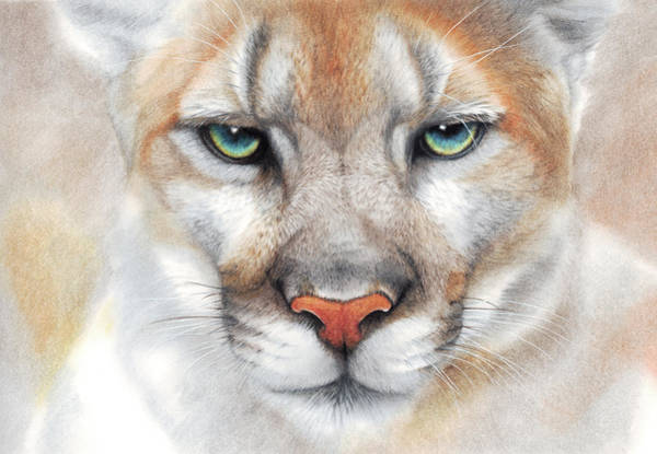Drawing - Intensity - Mountain Lion - Puma by Peter Williams