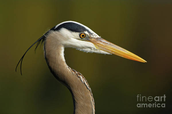 Intensity Of A Heron Art Print