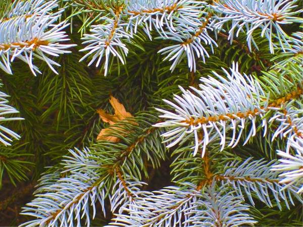 Photograph - Inthe Spruce by Mario MJ Perron
