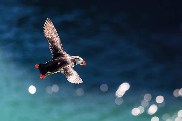 Flying Bird Photograph - Into The Light by Ingi T. Bjornsson