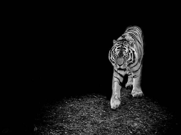 Big Cats Photograph - Into The Light by Paul Neville