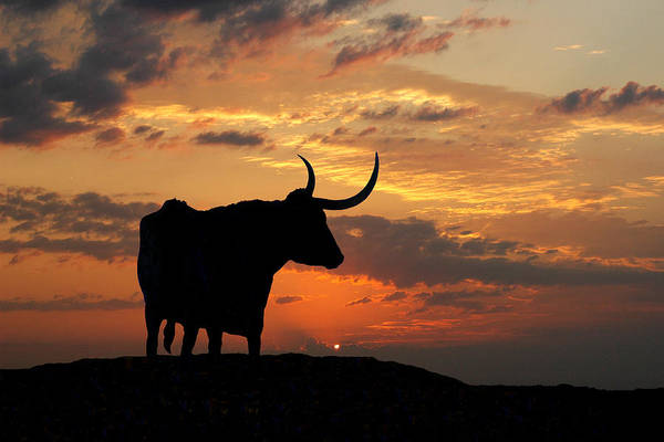 Longhorns Wall Art - Photograph - Into The Sunset by Robert Anschutz