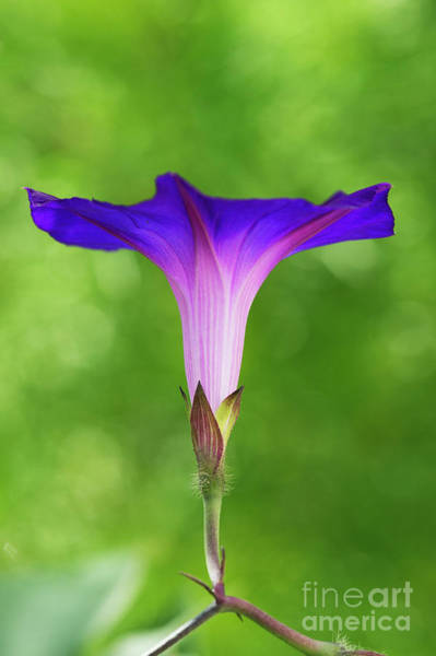 Trailer Photograph - Ipomoea Morning Glory Grandpas Ott by Tim Gainey
