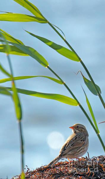 Photograph - Ipswich Sparrow by Jennifer Robin
