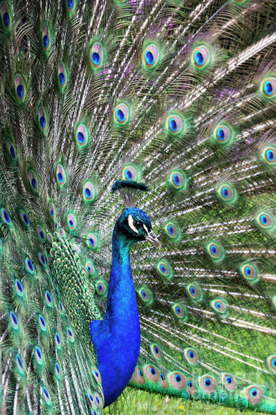 Coverts Photograph - Iridescent Eyes by Tim Gainey