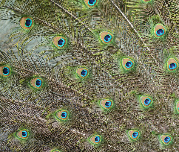 Photograph - Iridescent Feathers 2 by Fraida Gutovich