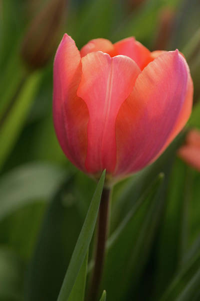 Photograph - Iridescent Tulip by Mary Jo Allen