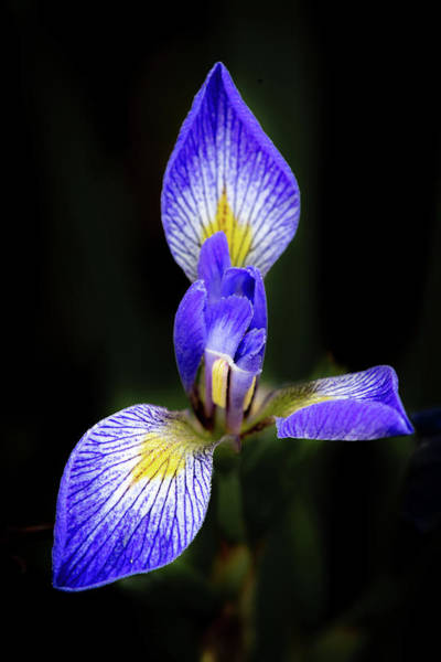 Photograph - Iris #1 by David Heilman