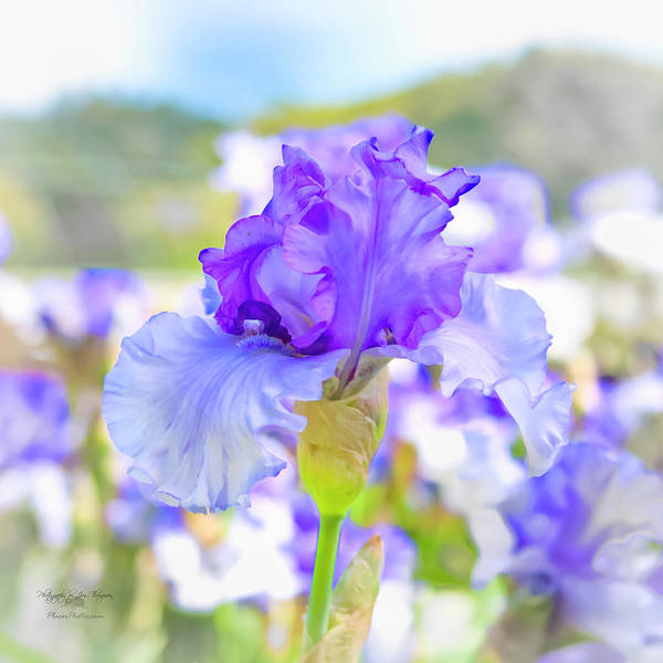 Photograph - Iris 3 by Jim Thompson