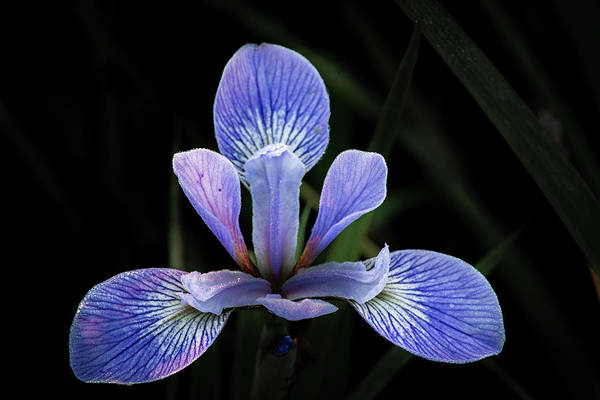 Photograph - Iris #4 by David Heilman