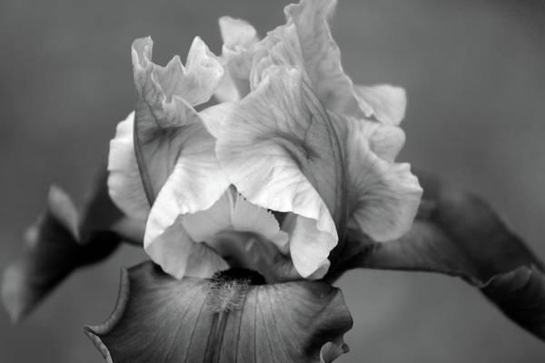 Photograph - Iris 6622 H_4 by Steven Ward
