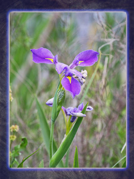 Photograph - Iris Abstract by Charles McKelroy