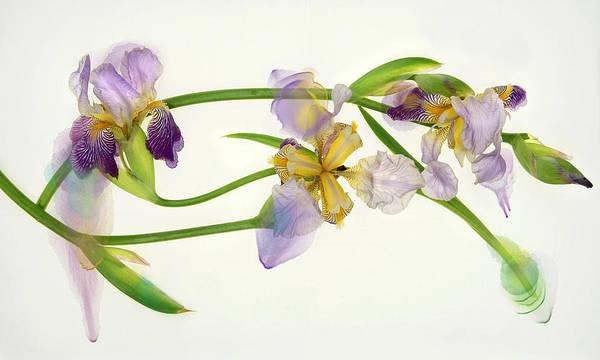 Photograph - Iris Abstraction by Leda Robertson