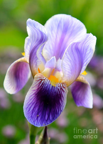 Photograph - Iris Aglow by Carol Groenen