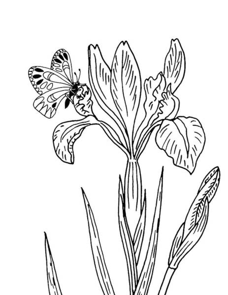 Butterfly Drawing - Iris Flower And Butterfly Drawing by Irina Sztukowski