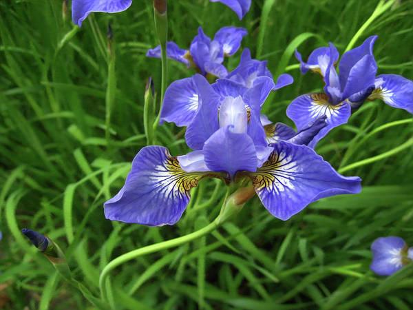 Photograph - Iris Flowers by Tatiana Travelways