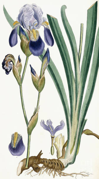 Wall Art - Painting - Iris Germanica by Ferdinand Bauer