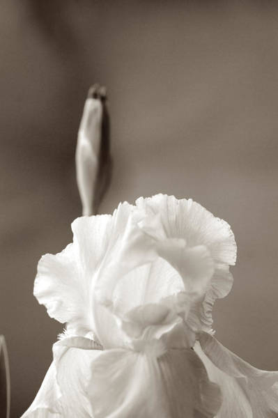 Photograph - Iris In Black And White by Donna Bentley