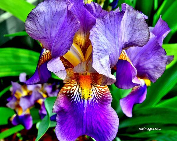 Photograph - Iris In Bloom by Susie Loechler