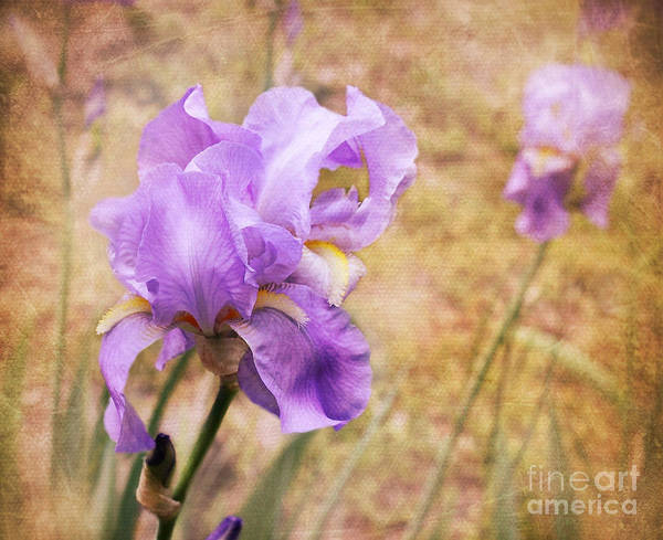 Wall Art - Photograph - Iris by Lena Auxier