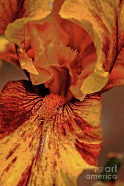 Bisexual Photograph - Iris Macro by Robert Bales